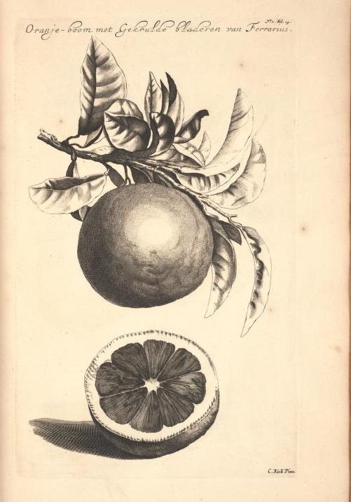 Limoen en Oranje Boomen 12a